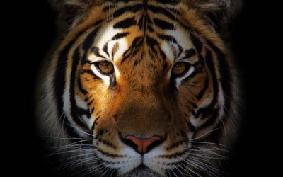You're a TIGER.